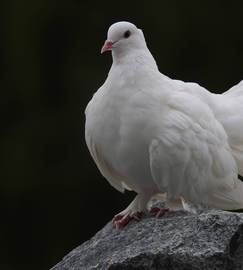 the symbolic view of a white dove View virgin under the apple tree  the form of this flower is compared to a white dove, and,  the plum is symbolic of fidelity,.