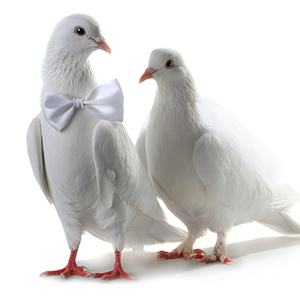 Wedding Doves Www Pixshark Com Images Galleries With A